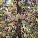 American Bladdernut Tree