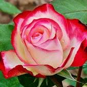 Radiant Roses Live Wallpaper