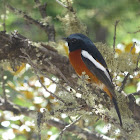 White-throated Redstart 白喉紅尾鴝