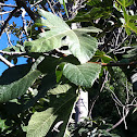 Common fig