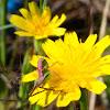 Katydid; Saltamontes longicornios