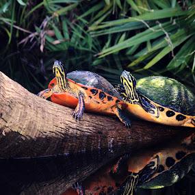 Freshwater Turtles by Rhonda Silverton - Animals Reptiles ( reptiles, florida, turtles, turtle, green cay wetlands, delray beach, , Lighting, moods, mood lighting )