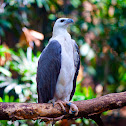 Philippine Sea Eagle