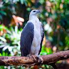 Philippine Sea Eagle