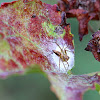 Lynx Spider guarding its Egg Sac