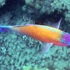 Regal Parrotfish