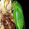 Northern Greengorcer Cicada