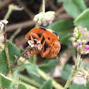 Cucurbit Ladybird