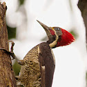 Male Lineated Woodpecker