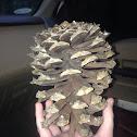 Long leaf pine cone