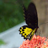 The Common Birdwing