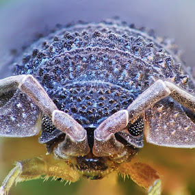 by Romeo Pogacean - Animals Insects & Spiders ( tiny, macro, bug, insect, small,  )