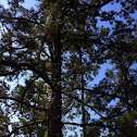 Long-leaf pine