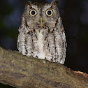 Eastern Screech Owl family