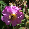 The western honey bee or European honey bee