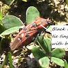Pistachio Red Bug