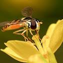 Slender Banded Hoverfly