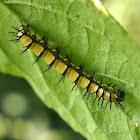 Acraea caterpillar