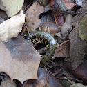 Escolopendra- Centipede