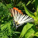 Scarce swallowtail (Ποδαλείριος)