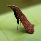 Leaf Blotch Miner Moth
