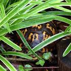 Eastern Box Turtle, female