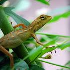 Changeable Lizard, Oriental Garden Lizard