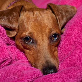 little one by Star Image - Animals - Dogs Puppies ( puppy weener dog pink baby, baby, young, animal )