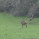 ciervo- Red deer