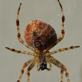 Arachnid by Ed Hanson - Animals Insects & Spiders ( hanging, food, web, brown, spider )