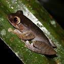 Madagascan Spur Legged Tree Frog