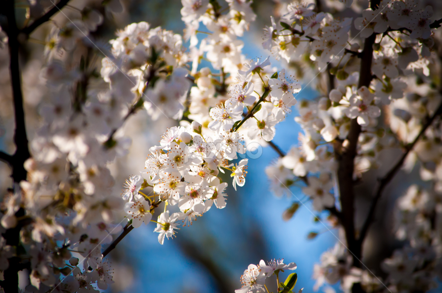by Pilipeti Sorin - Flowers Flowers in the Wild