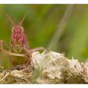Common Meadow Grasshopper