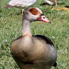 Egyptian Goose,Ganso do Egito