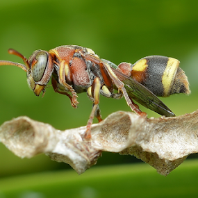 Wasp by Niney Azman - Animals Insects & Spiders