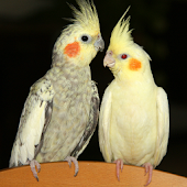 The Talking Cockatiel Parrot