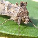 Moth Silver Y. Polilla plusia