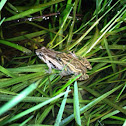 Striped Marsh Frog