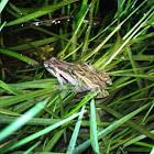 Striped Marsh Frog