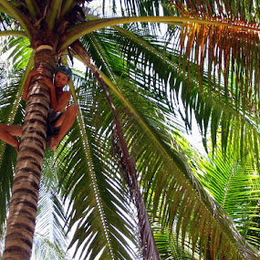 Harvesting Coconuts by Leong Jeam Wong - People Professional People ( climbing, tree, coconut,  )