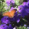 Gulf Fittillary Butterfly