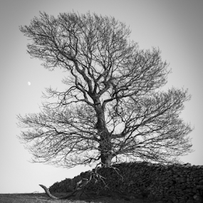 Hallgarth Tree by Alex Barrow - Landscapes Mountains & Hills ( kendal, field, cumbria, tree, black and white )