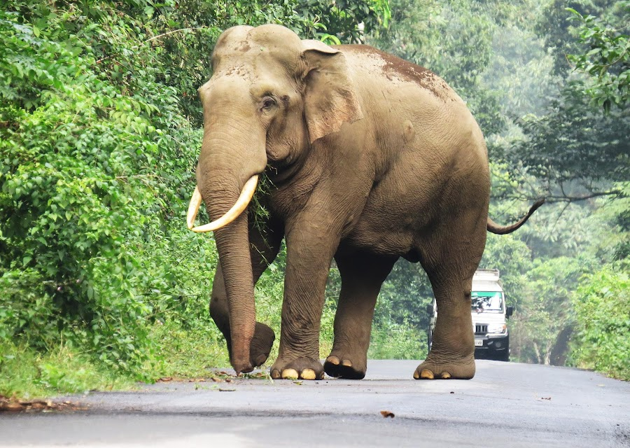 Road Bolcked by a big elephant by Asim Mandal - Animals Other Mammals