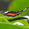 Mountain Longwing or Mexican Longwing