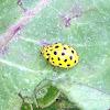 22-Spot Ladybeetle