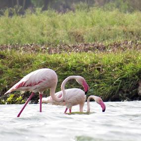 Flamingo 2 by Rahul Savaliya - Animals Birds