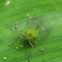 Dictyopharid hopper