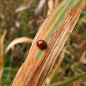 Blood-Red Lady Beetle