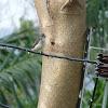 Scarlet-backed Flowerpecker (female)