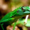 Crested green lizard